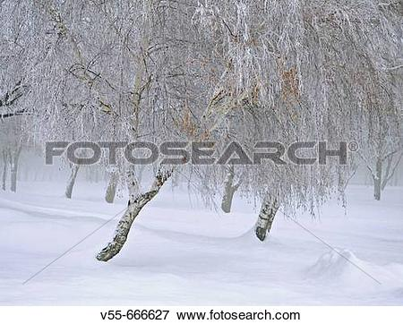 Picture of Snow and frozen fog on trees in the Wallowa Mountains.