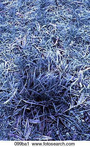Stock Photography of Frozen Clump of Grass 099ba1.