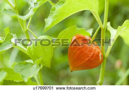 Stock Photography of Papery Orange and Green Fruits of Chinese.