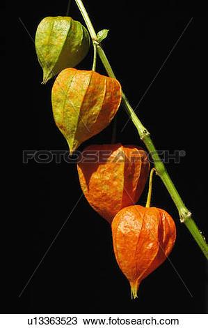 Stock Photo of fruit winter stem four pods chinese lantern vier.