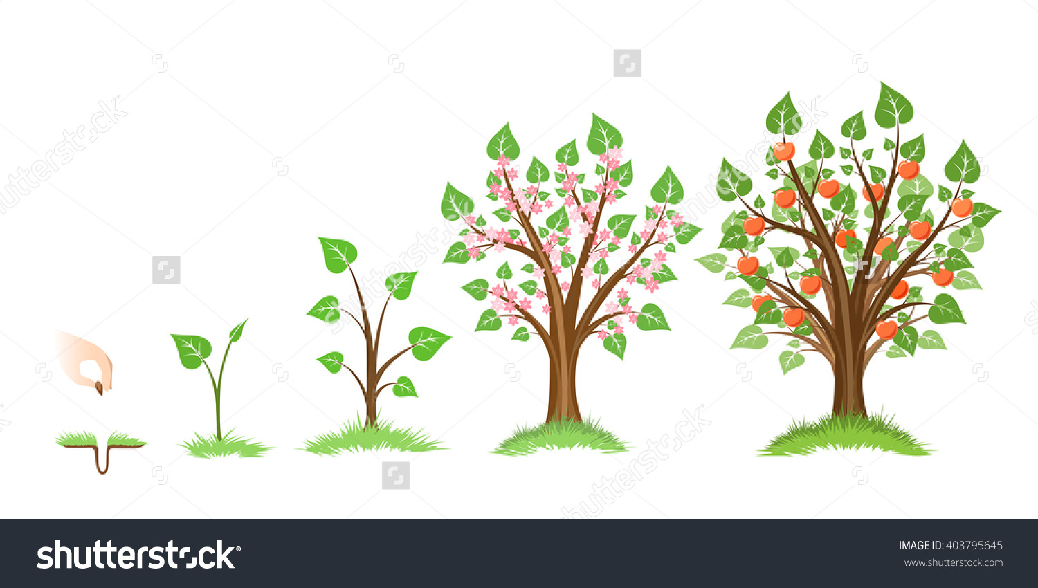 Apple Tree Growth Cycle Plant Cycle Stock Vector 403795645.