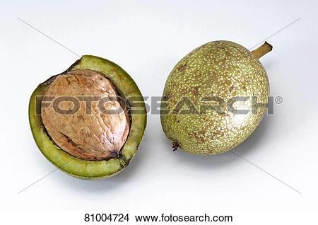 Stock Photo of English Walnut, Persian Walnut (Juglans regia.