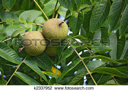 Stock Photo of Black Walnut Fruit k2337952.