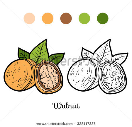 Walnut Fruit Stock Vectors & Vector Clip Art.