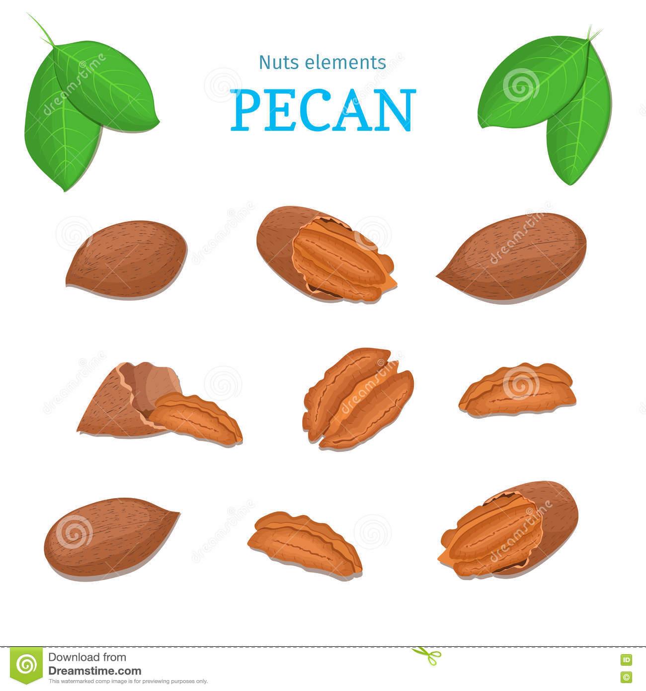 Vector Set Of Nuts. Pecan Nut Fruit, Whole, Peeled, Piece Half.