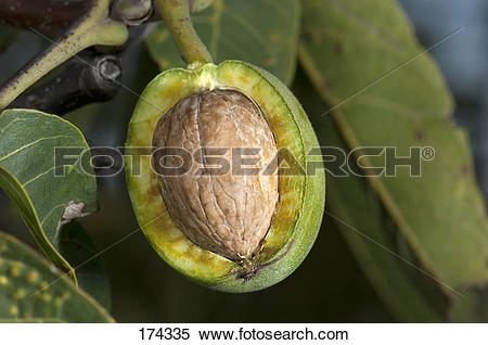 Stock Image of English Walnut, Persian Walnut (Juglans regia.