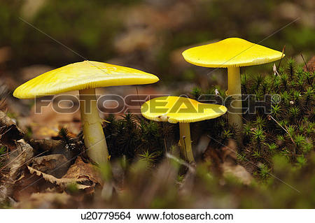 Stock Photo of Fly agaric (Amanita muscaria) Fruiting bodies.