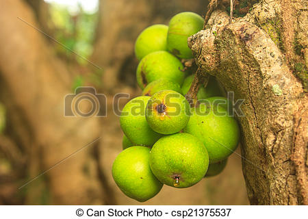Stock Photos of ficus fruits on the tree in the forest csp21375537.
