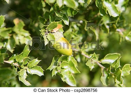 Stock Image of Acorn green fruits on the oak tree in the forest.