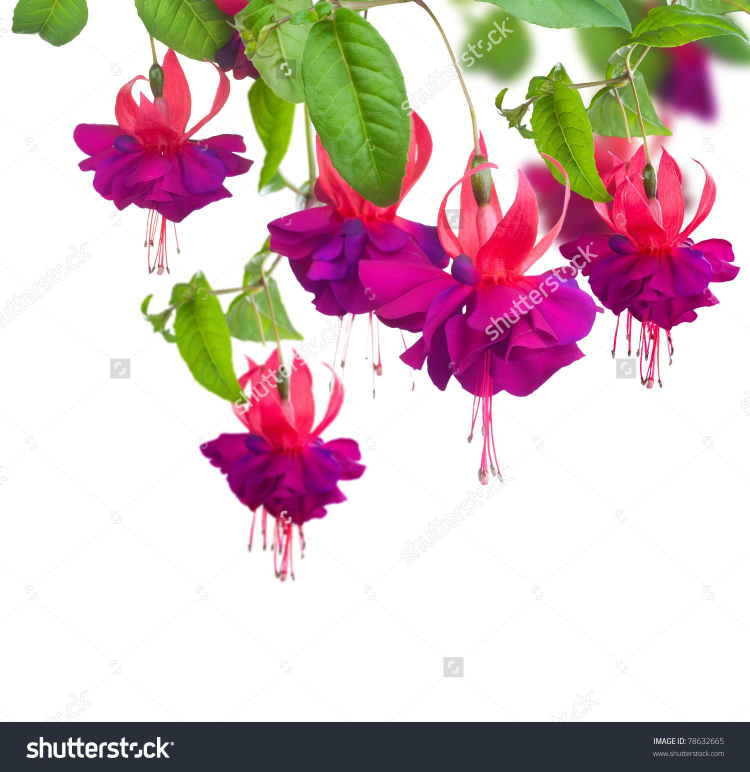 Fuchsia Flower Clip Art.