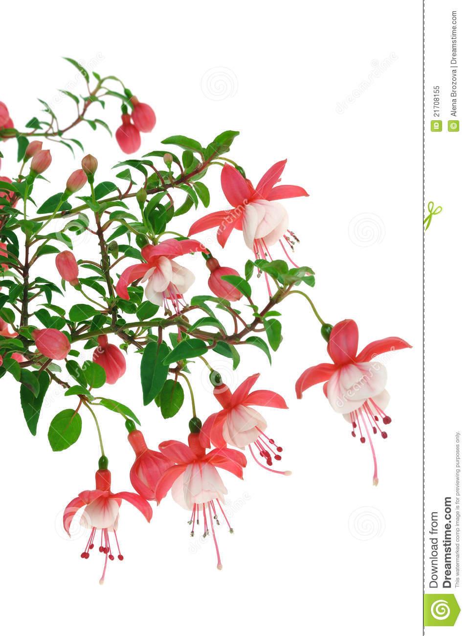 Fuchsia Flowers Over White Background Royalty Free Stock Photo.