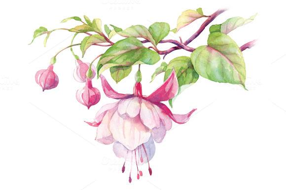 Fuchsia clipart.
