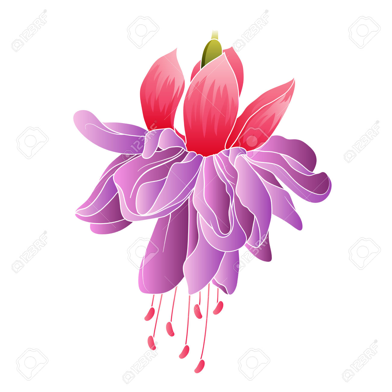 Fuchsia Flower Isolated Royalty Free Cliparts, Vectors, And Stock.