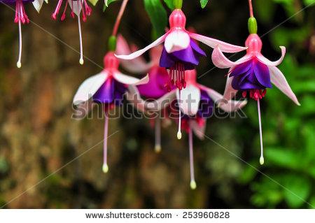 Purple Fuschia Stock Photos, Royalty.