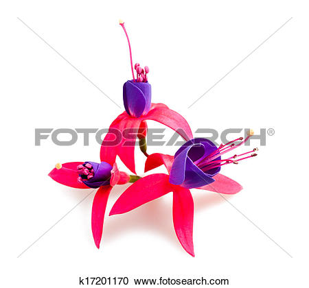 Stock Photography of Fuchsia flowers k17201170.