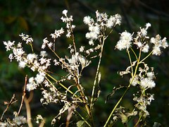 Free photo: White Fuzzy Groundsel, Plant.