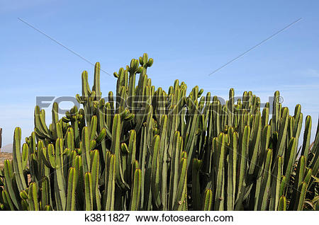 Stock Illustration of Euphorbia Canariensis on Canary Island.