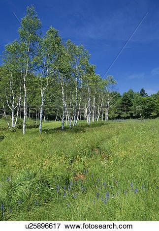 Picture of Nyukasa Moor, Fujimi, Nagano, Japan u25896617.