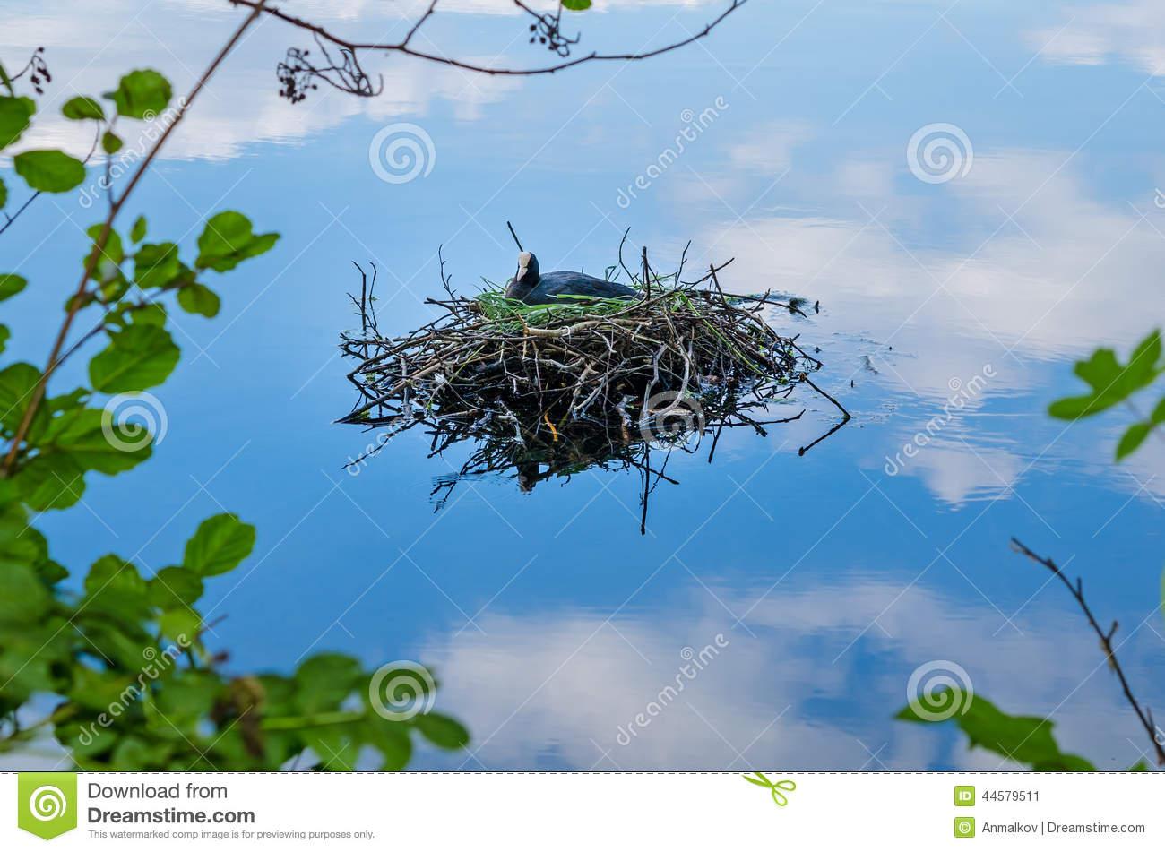 Common Coot Bird Nest On Water Fulica Atra Stock Photo.