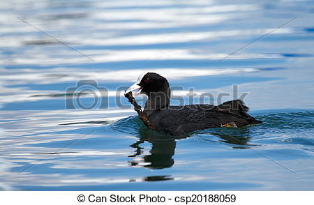 Stock Images of Eurasian coot duck (fulica atra) holding a branch.