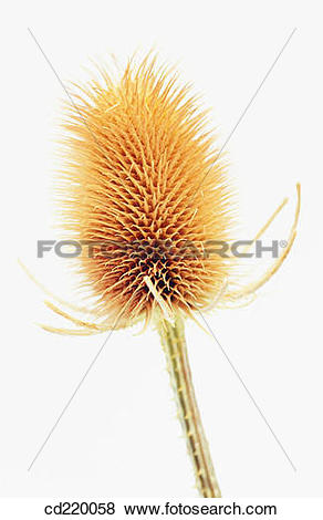 Pictures of Fuller's Teasel (Dipsacus fullonum) cd220058.