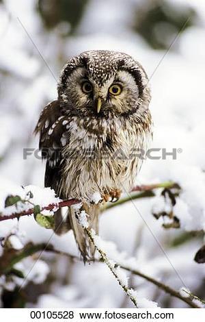 Pictures of Richardson's owl, Aegolius funereus, Richardosn's.