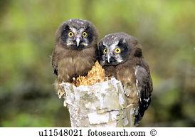 Boreal owl Stock Photo Images. 121 boreal owl royalty free.