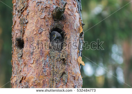 The Boreal Owl Stock Images, Royalty.