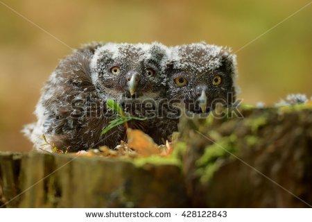 Boreal Owl Stock Photos, Royalty.