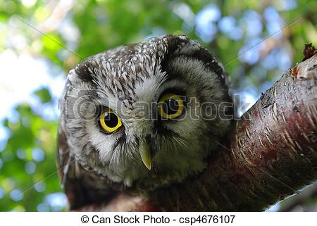Picture of Owl (Aegolius funereus) on a tree branch in different.