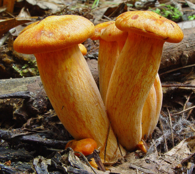 Amazing fungi species. A fungus (plural: fungi or funguses is any.