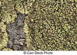 Pictures of Lichens are symbiotic fungi and algae. They are able.