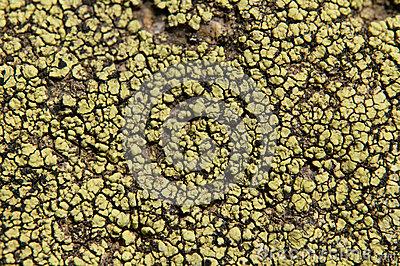 Lichens Are Symbiotic Fungi And Algae. Stock Photo.