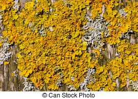 Stock Image of Lichens are symbiotic fungi and algae. They are.