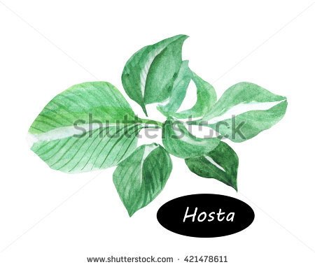 Hosta Isolated Stock Photos, Royalty.