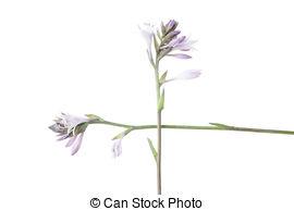 Stock Photo of Hosta (Funkia or Plantain Lily) Flower on White.