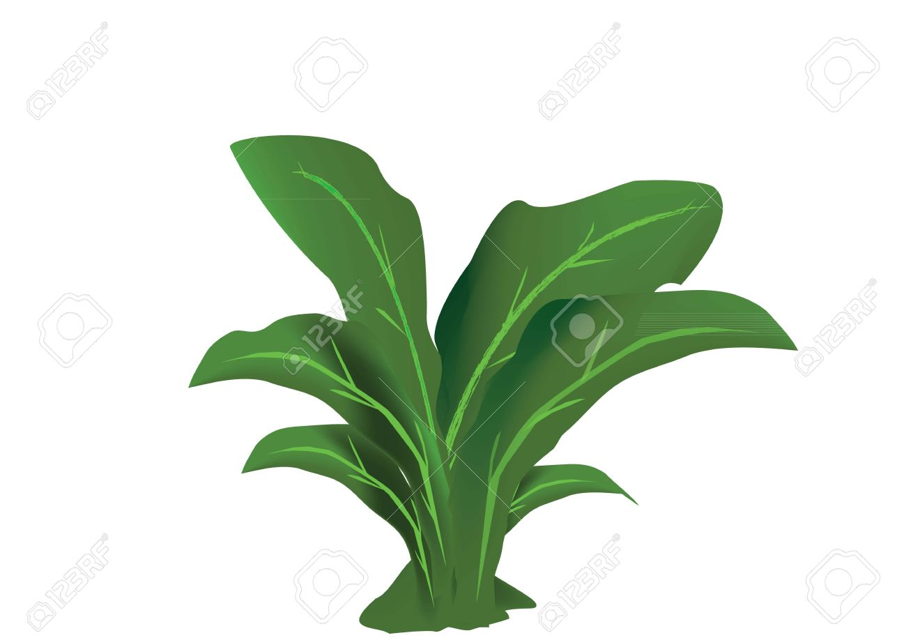 Funkia Bush Isolated On White Background. Royalty Free Cliparts.