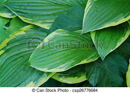 Pictures of Hosta.