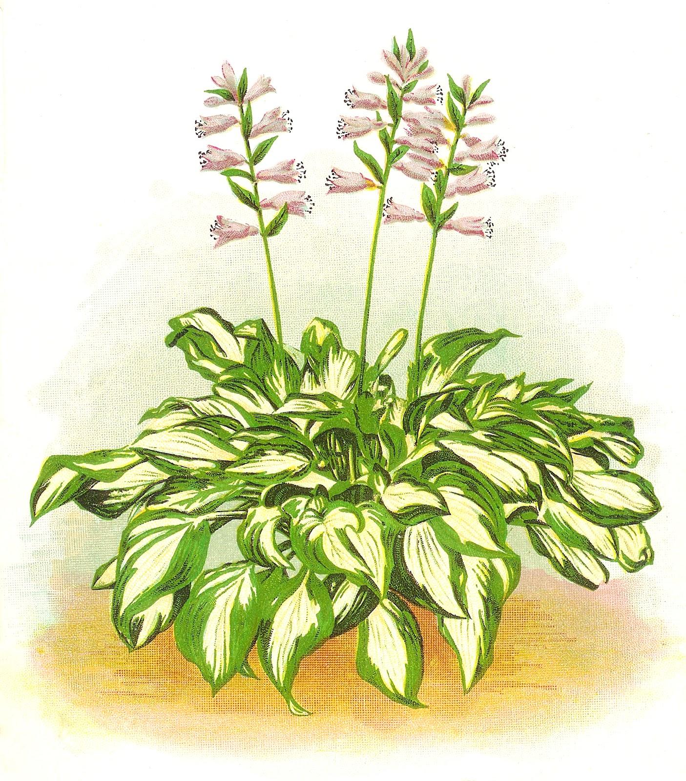Hostis Plants Clipart.