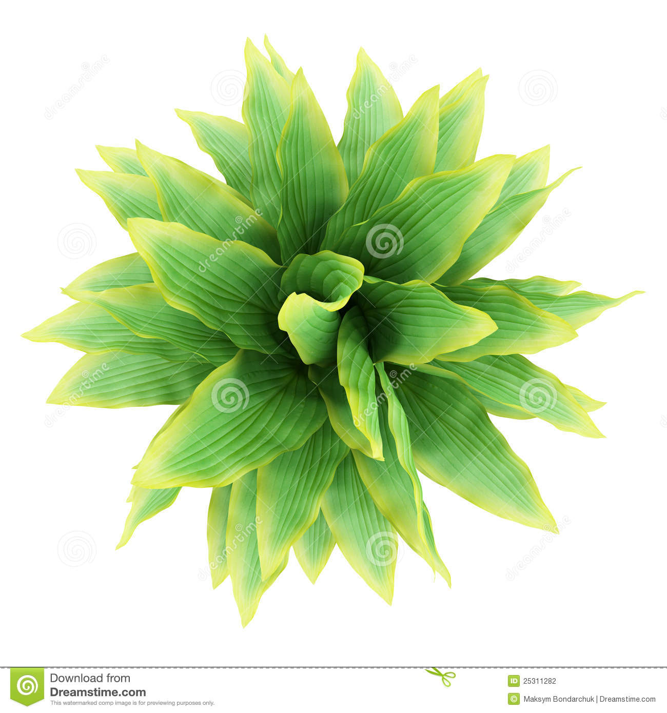 Top View Of Funkia Bush Isolated On White Stock Photography.