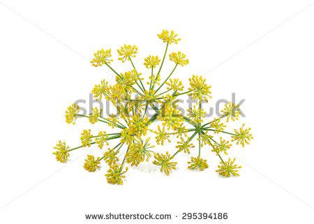 Fennel Flower Stock Photos, Royalty.