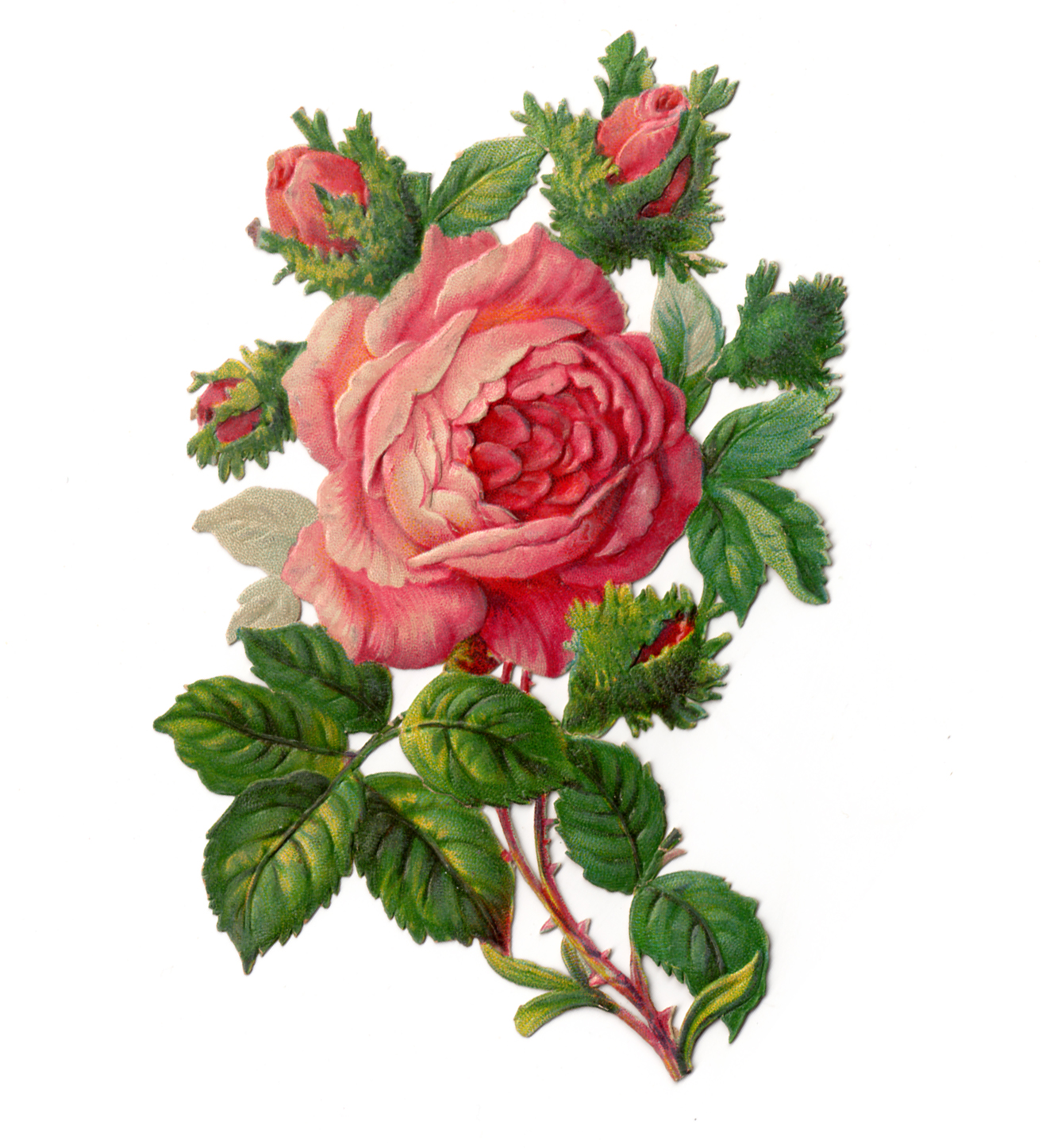 Varigated roses clipart #17