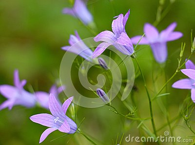 Funnel Shaped Flowers Stock Photo.