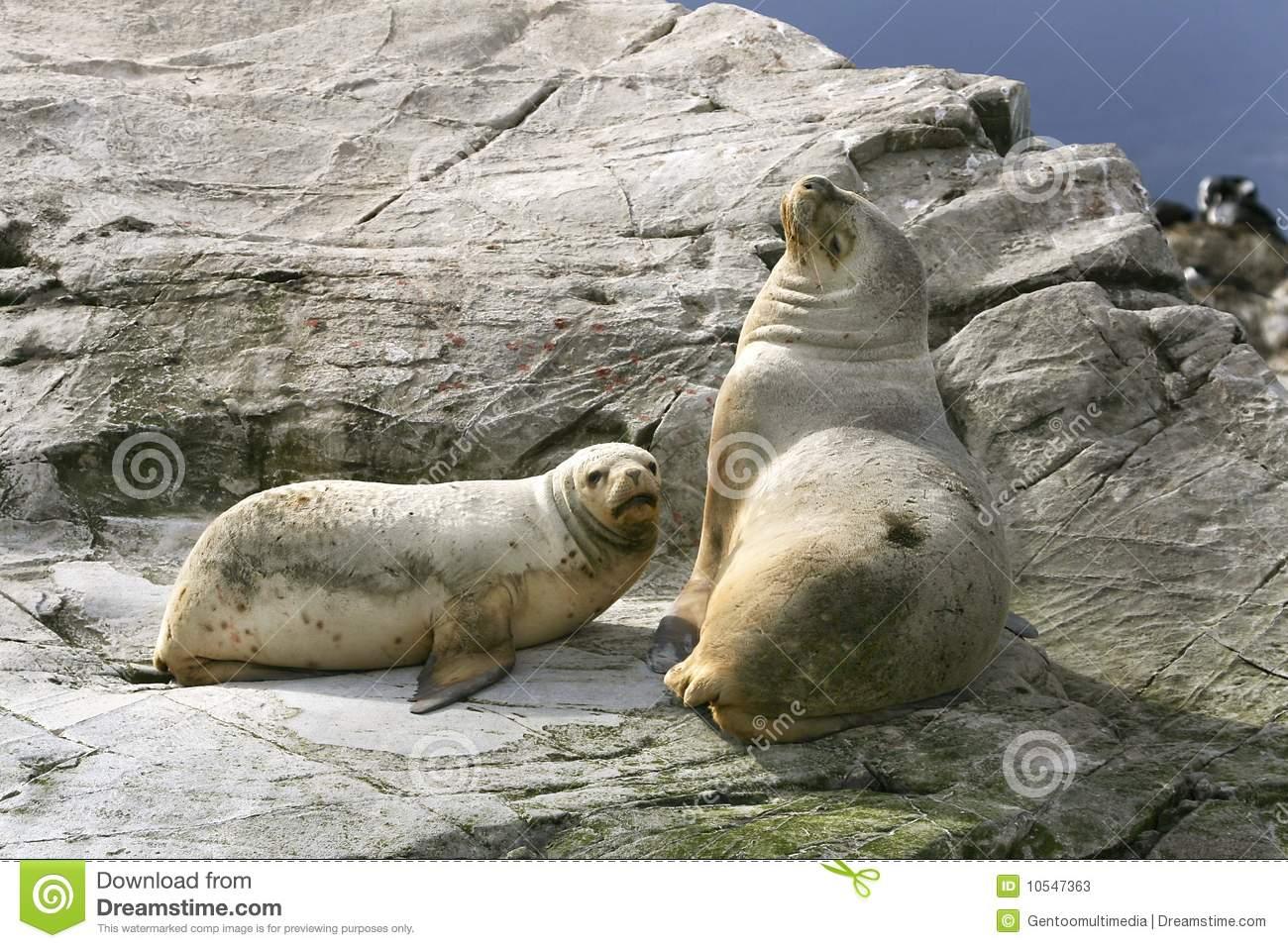 South American Fur Seal (Arctocephalus Australis) Stock Photos.