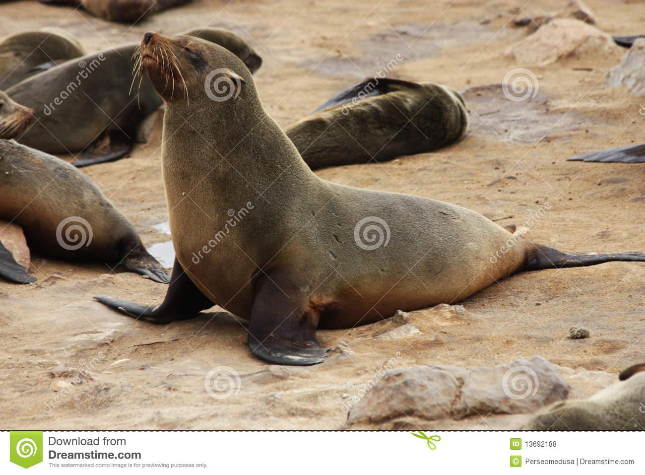 Brown Fur Seal (Arctocephalus Pusillus) Royalty Free Stock Photos.