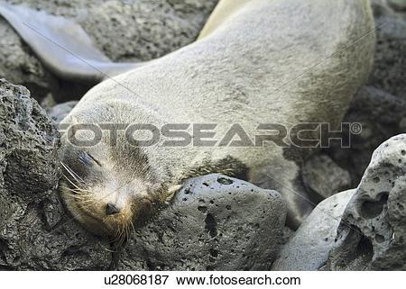 Picture of Galapagos Fur Seal (Arctocephalus galapagoensis.
