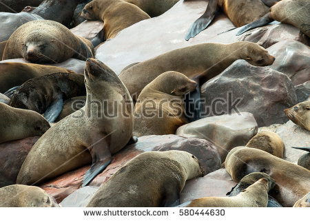 South African Fur Seal Stock Photos, Royalty.