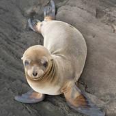 Stock Photograph of Antarctic fur seal (arctocephalus gazella.