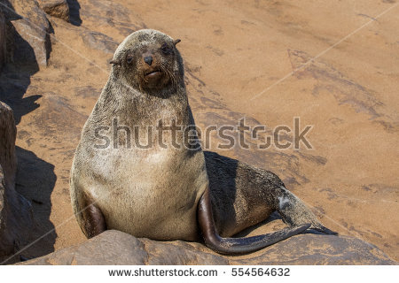 Fur Seal Stock Photos, Royalty.