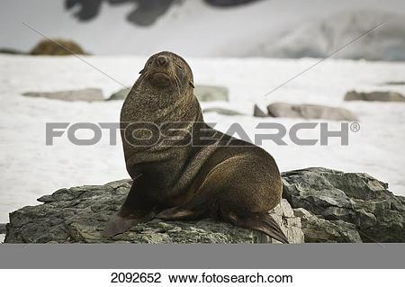 Stock Photo of Antarctic fur seal (arctocephalus gazella.